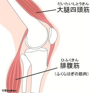 膝関節_筋肉c